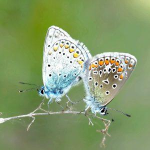Deux papillons côte à côte